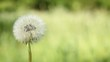 Dandelion blow-ball on the wind on the green meadow. Nature.