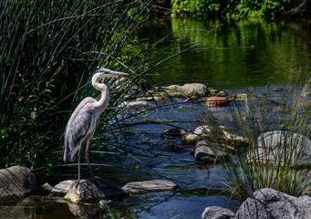 Blue Heron at Los Angeles River