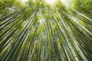 bamboo grove, forest of bamboo grove in Arashiyama, Kyoto, Japan