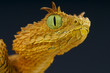 Постер, плакат: Eyelash bush viper Atheris ceratophora