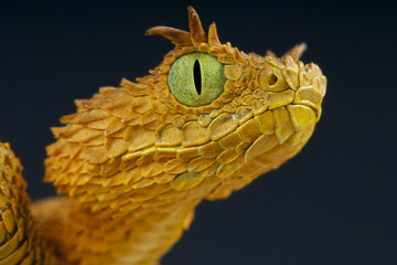 Eyelash bush viper / Atheris ceratophora