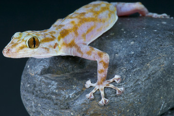 Fan-footed gecko / Ptyodactylus ragazzi