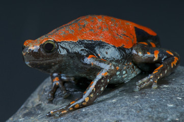 West African rubber frog / Phrynomantis microps