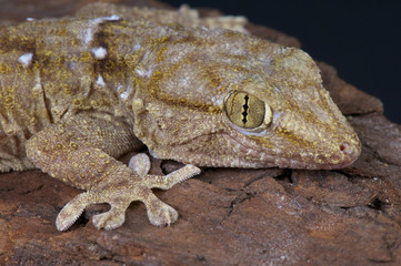 White spotted gecko / Tarentola annularis