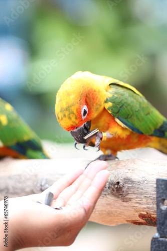 Foto op Plexiglas Papegaai parrot is eating foods.