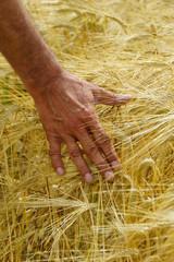 Eine Hand streicht durch ein Kornfeld