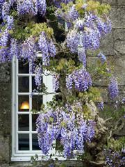Fenster mit Blauregen - window with wisteria