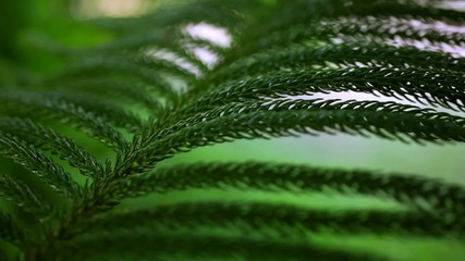 Fresh fir branch. Video with shift, change in focus and bokeh