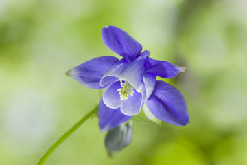 Columbine flower. Summer background.