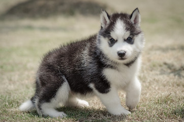 little cute puppy of Siberian husky dog