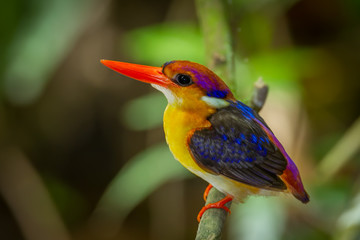 Very close up of Dwarf Kingfisher (Ceyx erithaca)