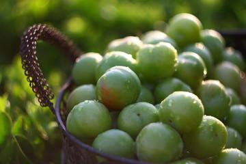 Green plums in basket