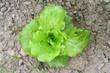 insalata nell'orto_ lattuga