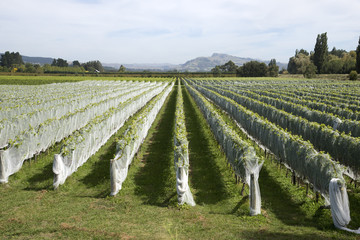 Vines covered with bird netting Hawkes Bay region NZ