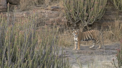 Bengal Tiger standing on rocky surface between Cacti.
