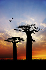 baobab plants at sunset