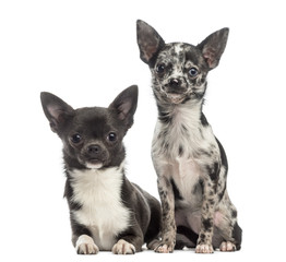 two Chihuahuas sitting together