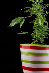 colorful striped flower pot with marijuana