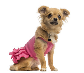 Chihuahua puppy wearing a pink shirt (6 months old)