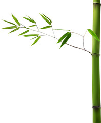 stem with green isolated bamboo branch