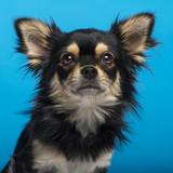 Chihuahua, headshot, blue background