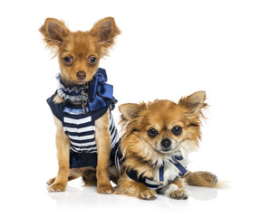 Tow dressed Chihuahuas (2 years old)