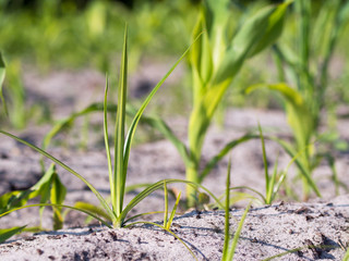 Ackerbau - Erdmandelgras im Mais