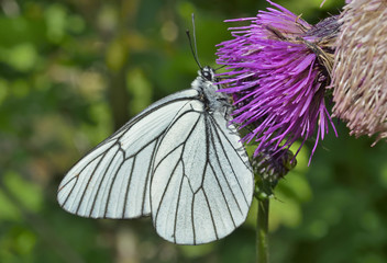 Butterfly (black-weined white) (Aporia crataegi) 7