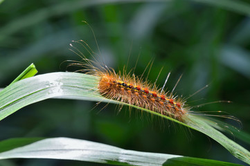 Caterpillar of gypsy moth 1