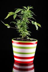 supplement marijuana in a pot