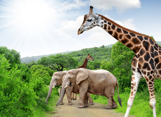 Giraffe and elephants in Kruger park South Africa