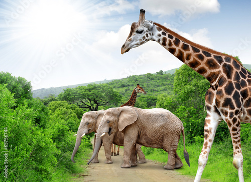 Foto op Canvas Olifant Giraffe and elephants in Kruger park South Africa