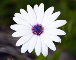 white and purple daisy closeup