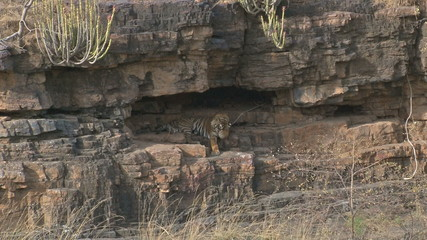 Bengal Tiger (Panthera tigris tigris) in cave, cleaning paw.