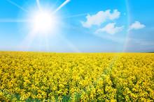"Постер, картина, фотообои ""Yellow flower field in summer sunshine"""