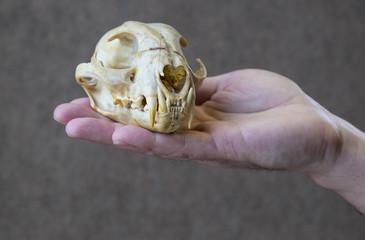 Hand Holding a Lynx Skull