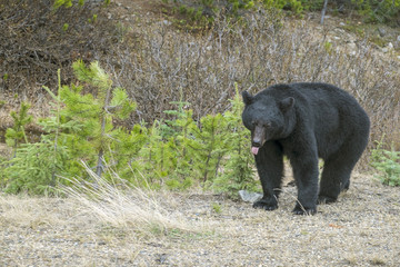 North American Black Bear on the Side of the Road