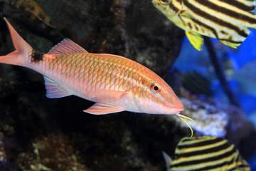 Whitesaddle goatfish (Parupeneus ciliatus) in Japan