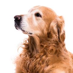 purebred golden retriever dog
