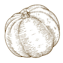 engraving illustration of big pumpkin