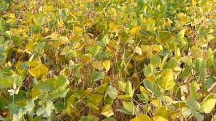 Soybean field at summer
