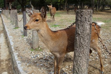 Wild Deer getting up close to the public in Nara Park
