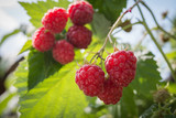 raspberries growing
