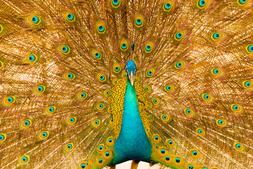 male peacock has colorful feathers