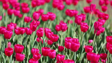 field of red tulips blooming - shallow depth of field