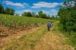 promenade dans les vignes
