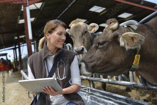 Veterinarian checking on herd's health in barn - 65766754