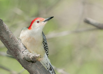 Red bellied wood pecker