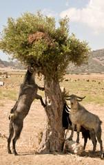 Nord-Zypern Karpazi - Ziege in einem Baum