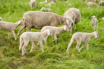Sad Lambs